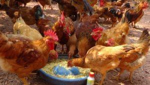 6 mẹo cho ăn ở gà hậu bị giúp nâng cao năng suất trứng