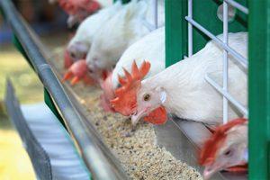 Sử dụng thuốc thú y có thành phần kháng sinh trong TĂCN gia súc, gia cầm